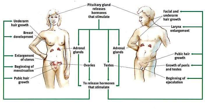 hormone adolescence